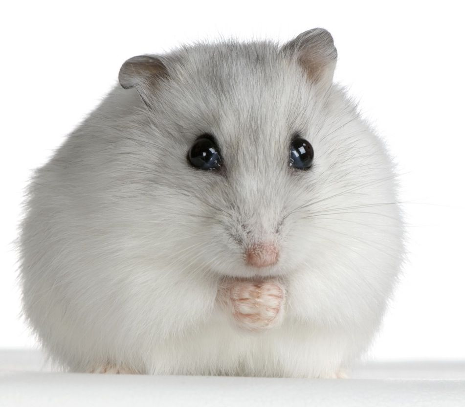 There Are Many Different Kinds Of Hamsters But The Five Most
