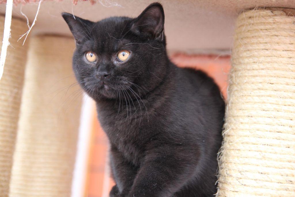 British Shorthair Black Cinnamon British Shorthair British Shorthair Cats Crazy Cats