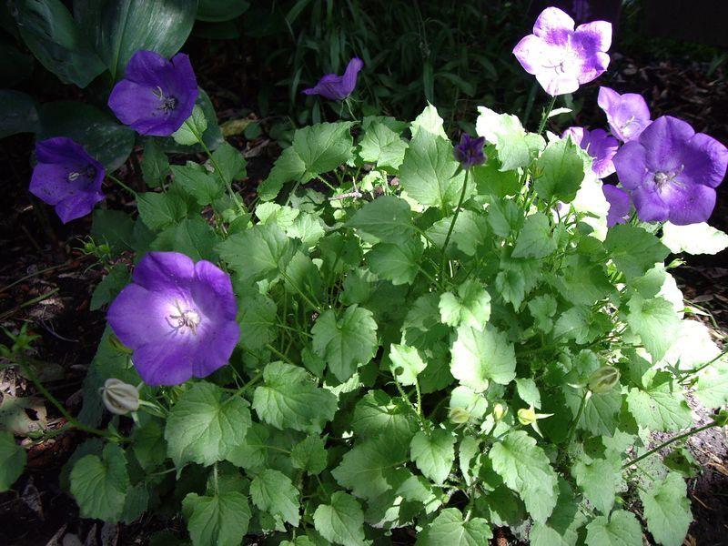 Campanula carpatica 'Blue Clips' (carpathian bellflower