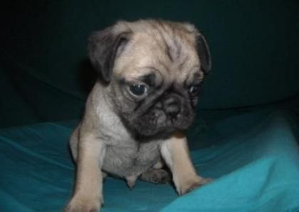 Male And Female Pug Puppies For Sale My Style Baby Pugs For