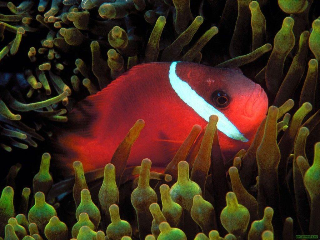 Poissons colorés - fonds d\'écran HD: http://wallpapic.fr/ocean-et ...