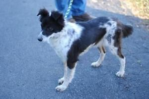 Adult Female Dog Border Collie Misty Mississauga Peel