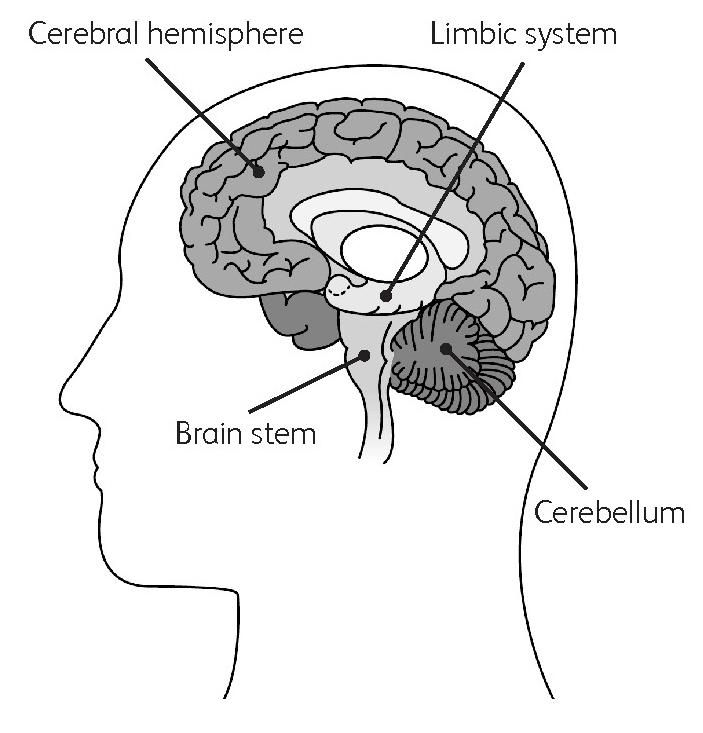 A cross-section diagram of the brain, showing the cerebral ...