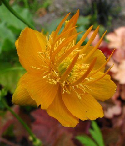 Globeflower 'Golden Queen' Trollius