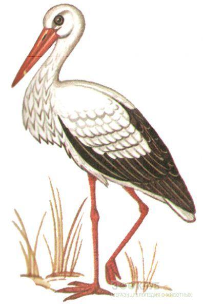 Аист белый (Ciconia ciconia), фото фотография картинка ...