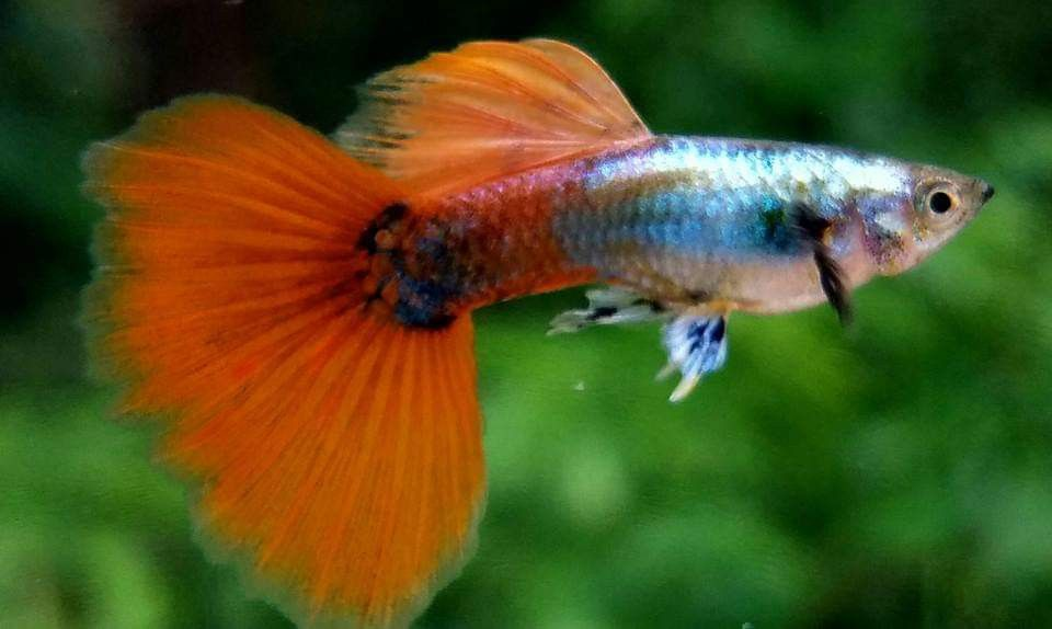 Platinum Sakura Red Panda Big Ear Guppy Fish Pet Pets