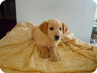 Rochester Nh Golden Retriever Mix Meet Mia A Puppy For