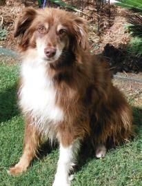 Gorgeous Aussie Mix Up For Adoption At Houston Humane His Name Is