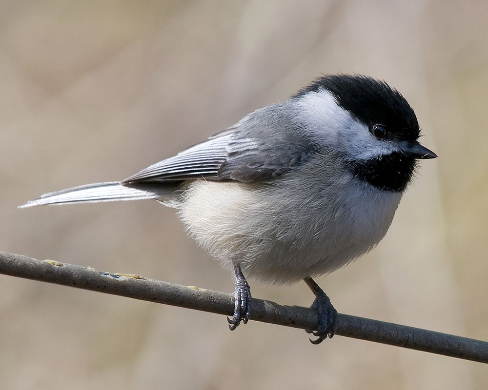 #BlackCappedChickadee:  one's ability -  to sing decides their place in -  the hierarchy -  #haiku