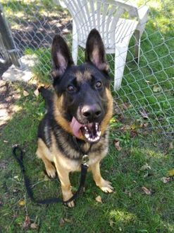 Pictures Of Ben A German Shepherd Dog For Adoption In Oak Park Il