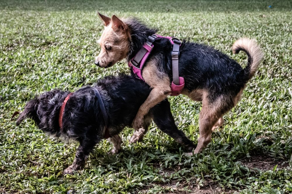 3f46710e58f8219215015bbb58673604 - How To Get A Boy Dog To Hump You