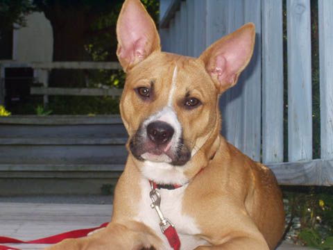 Tucker The Basenji Boxer Mix Unique Dog Breeds Cute Dogs