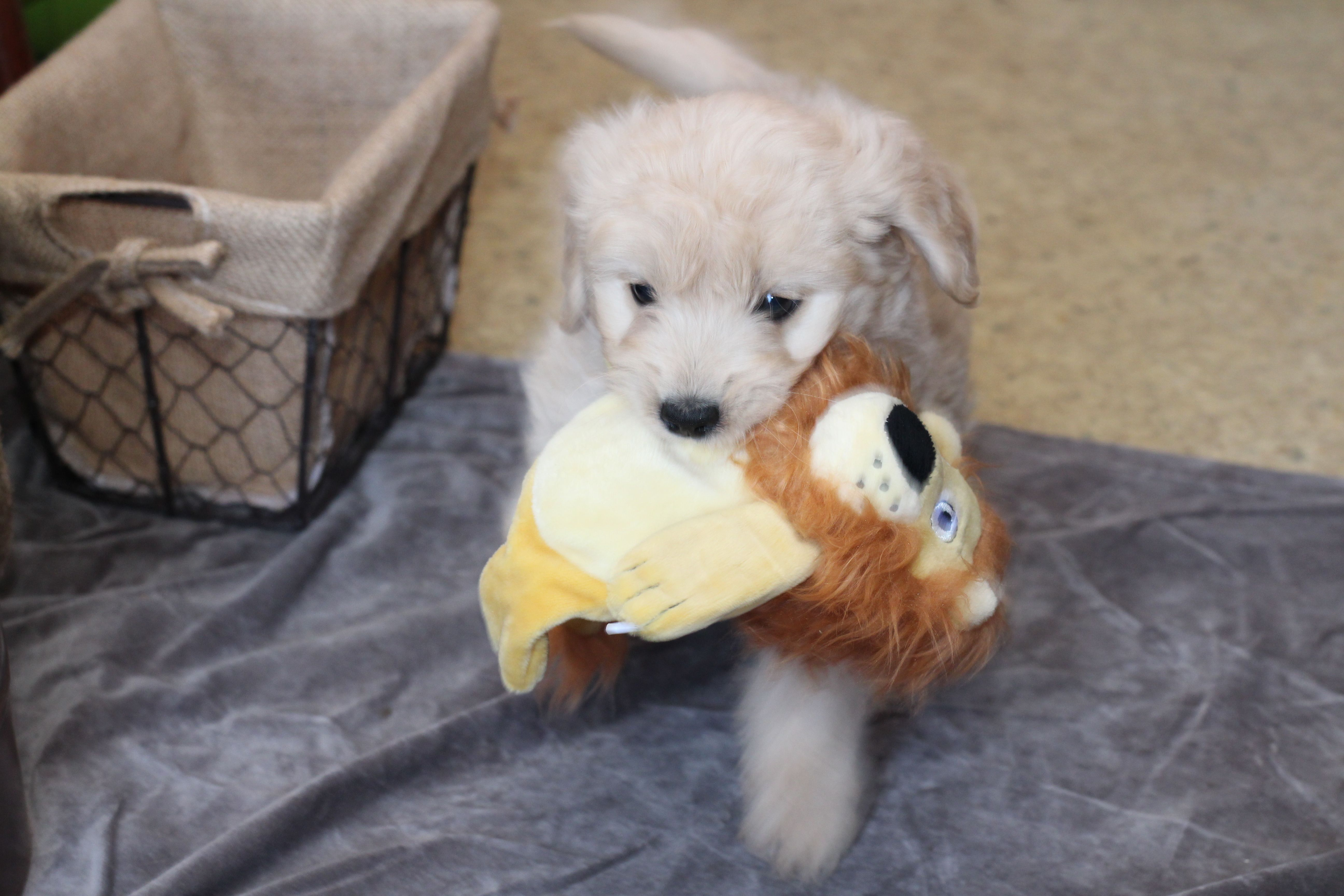 Goldendoodle goldendoodle puppies dogs