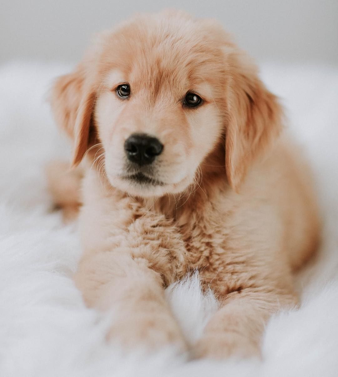 Rufio The Golden Retriever On Instagram Happy Nationalpuppyday Mom Has This Photo Of Me On The Wall Bc She Can T Resi Golden Retriever Puppy Eyes Puppies