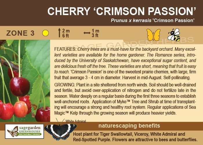 Crimson Passion Cherry Zone 3 2m Tall Self Pollinating Large Sweet Fruit Sage Garden Cherry Tree Best Fruits