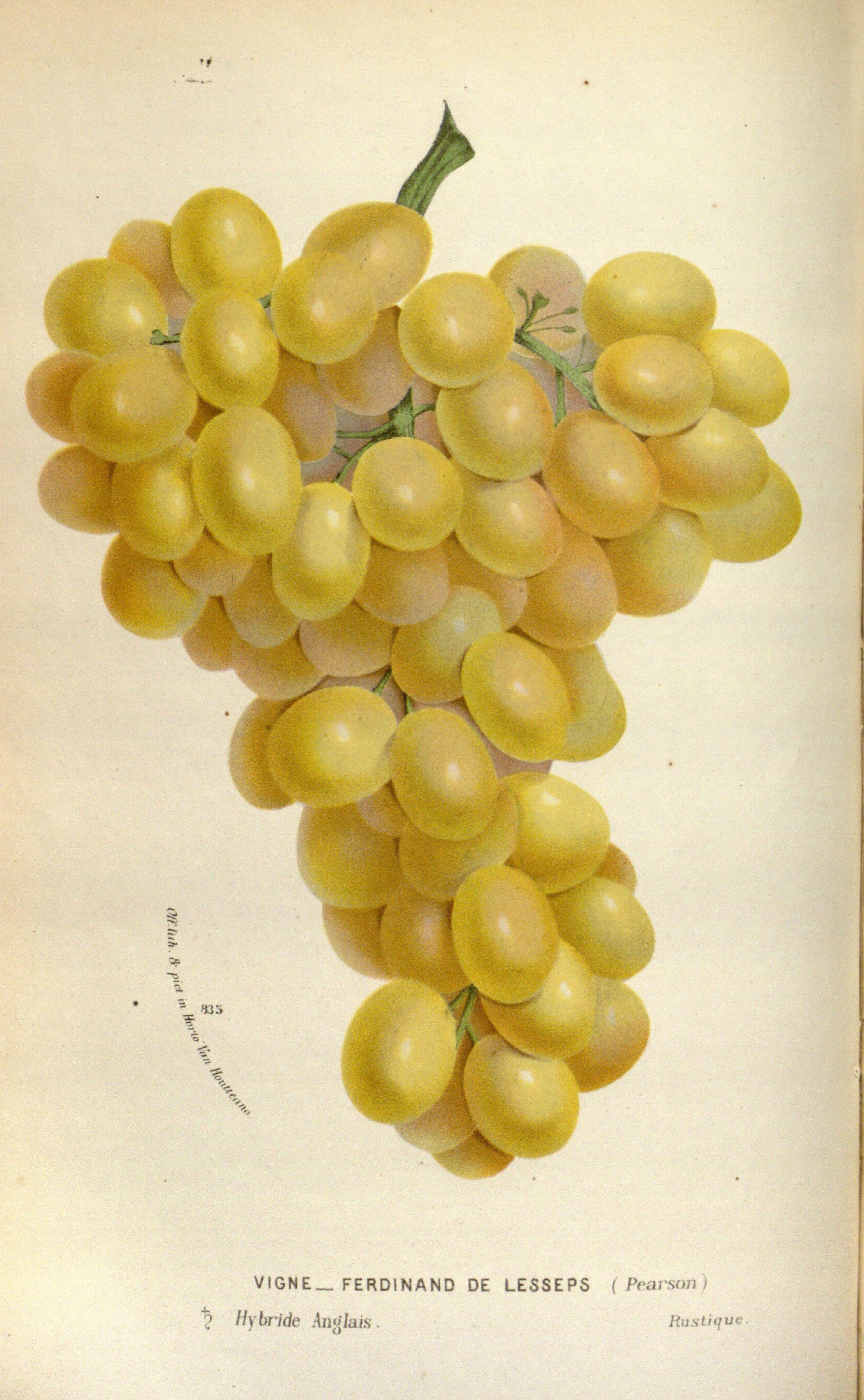 Grapes - Vitis vinifera var. Ferdinand de Lesseps - circa 1845 ...