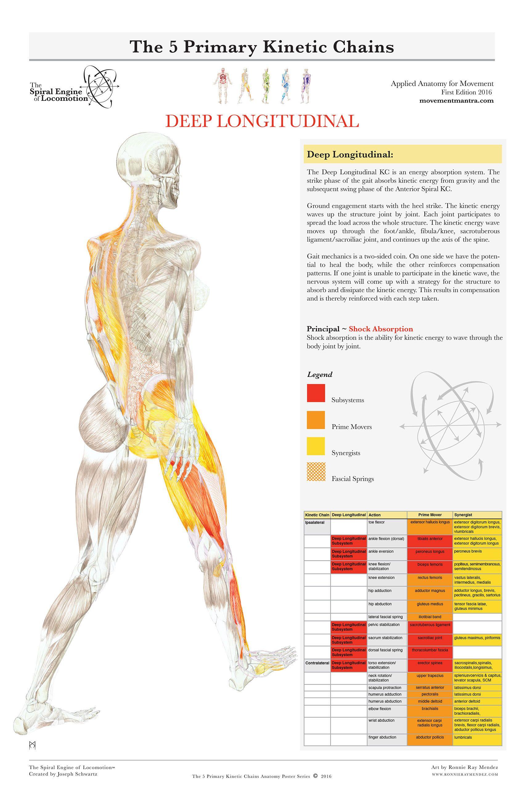 THE SPIRAL ENGINE OF LOCOMOTION ~ Deep Longitudinal | anatomytrains ...