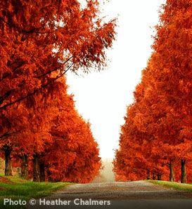 Trees Bald Cypress Majestic Orange Red Fall Color Great Urban Tree Pale Green Semi
