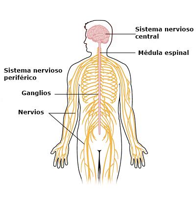 Sistema Nervioso Buscar Con Google Sistema Nervioso Humano Dibujo Del Sistema Nervioso Sistema Nervioso