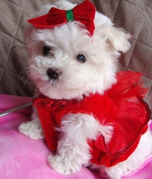 peg for cute female Maltese. gonna name mine Chloe ...