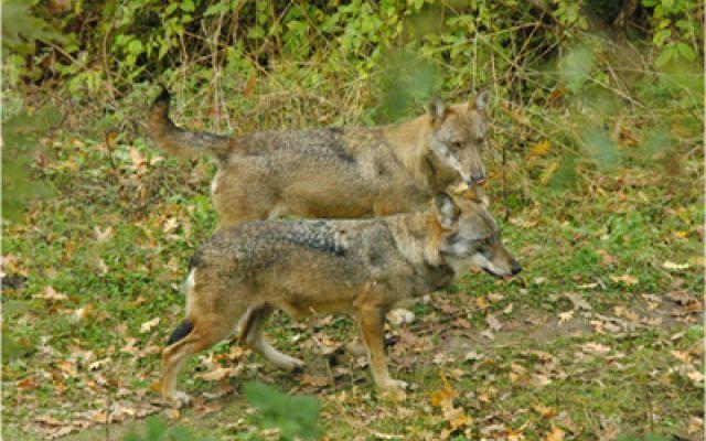 Lupo attacca cane da caccia e scoppia subito la paura #lupo #caccia