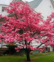 White Flowering Dogwood Trees With Images Dogwood Trees Pink Dogwood Tree Pink Dogwood