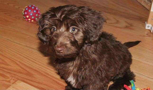 Doxiepoo Dachshund Toy Poodle Mix Facts Temperament Puppies