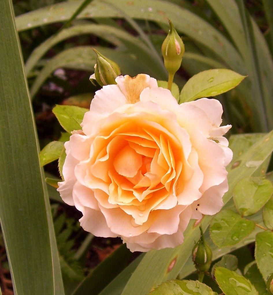 Celtic Pride rose