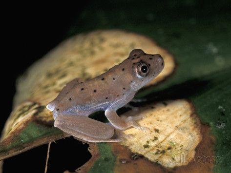 amacayacu national park | Frog, Amacayacu National Park, Colombia Photographic Print by Thomas ...