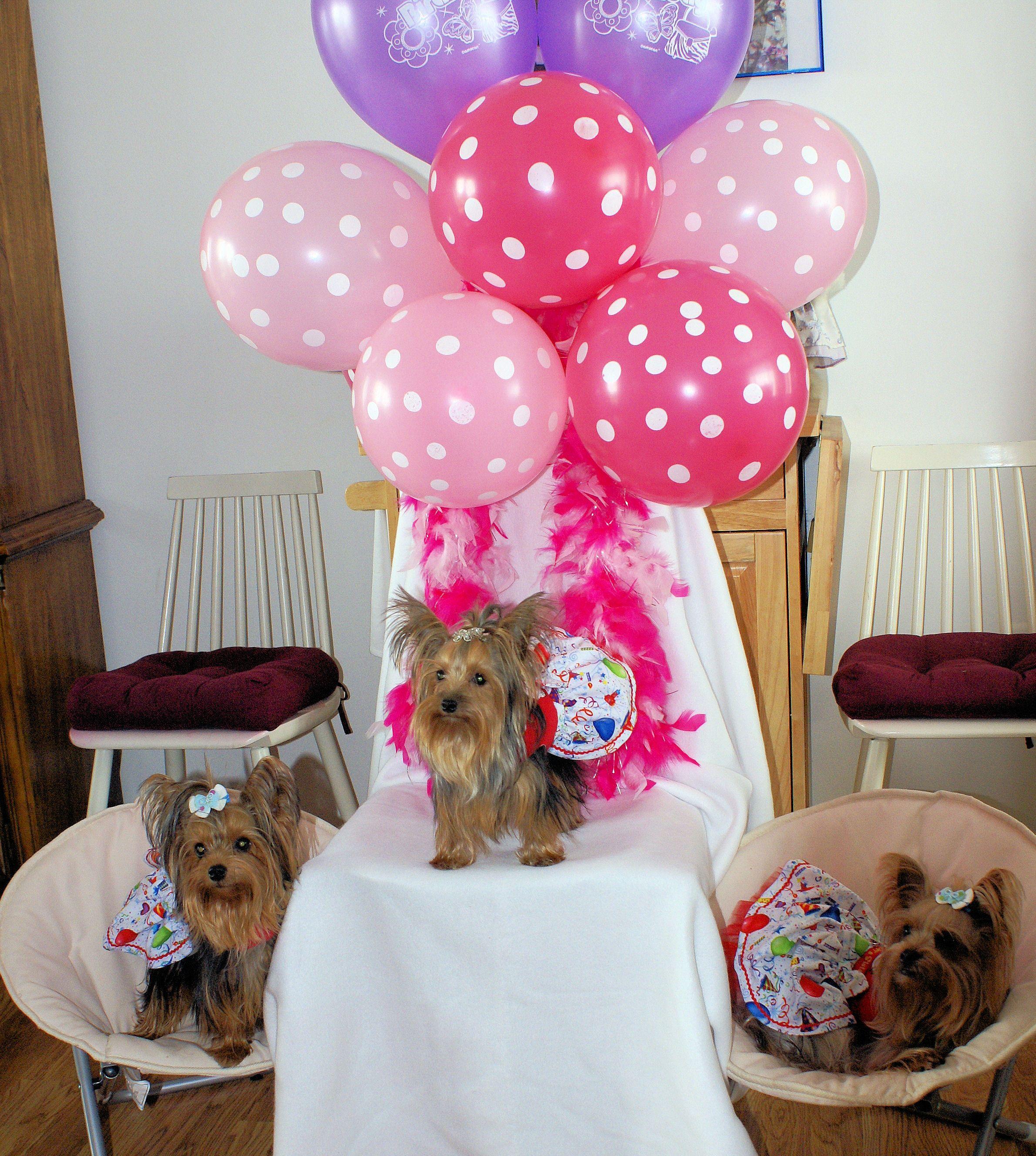 Yorkie Birthday Party Cute Animals Pinterest
