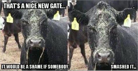 Funny Cute Farm Animals Farm Humor Show Cows Cow Quotes