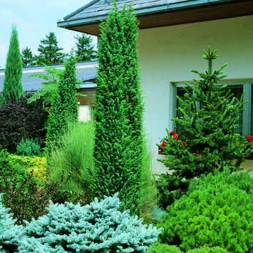 Irischer Saulenwacholder Juniperus Communis Hibernica Gemeiner Wacholder Wasser Im Garten Heidegarten