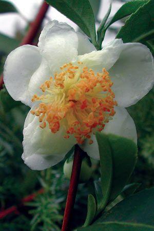 Tea Plant White- WTEA photo