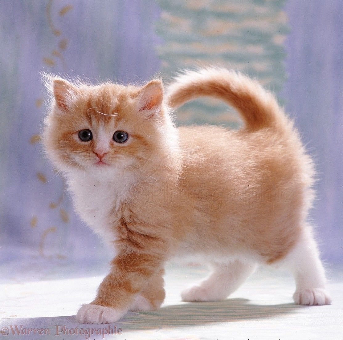 A Cute Ginger And White Kitten She Looks Like Mittens Did When We