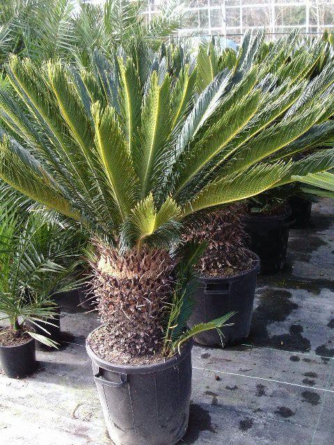 Cycas Revoluta Sago Palm A Real Impact Plant