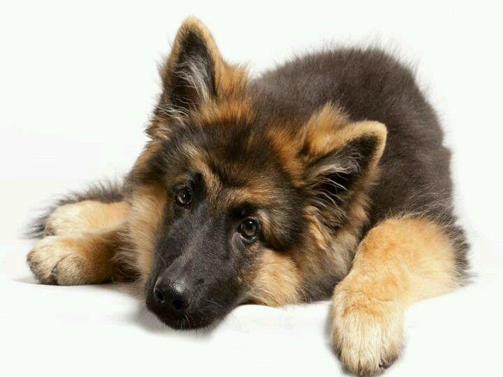Shiloh shepherd puppies for sale near me