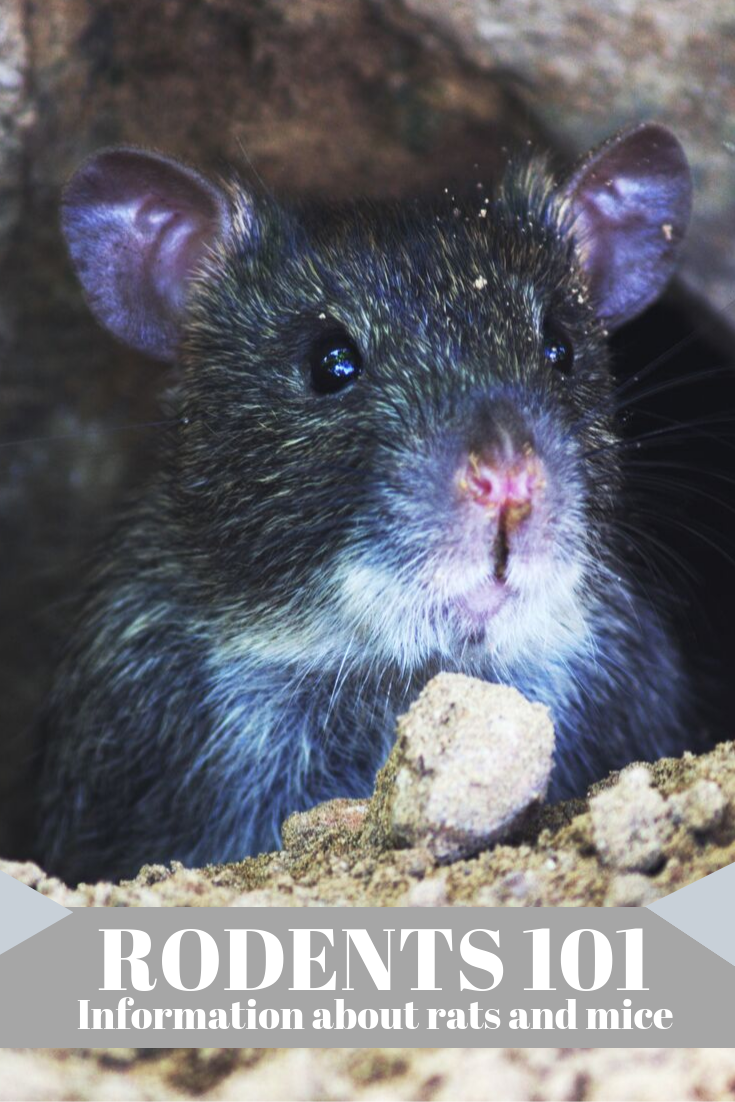 Today Marks The Beginning Of Rodent Awareness Week Pests Like Rodents Can Cause Significant Damage To A Home Sprea Rodents Rat Infestation Rodent Infestation