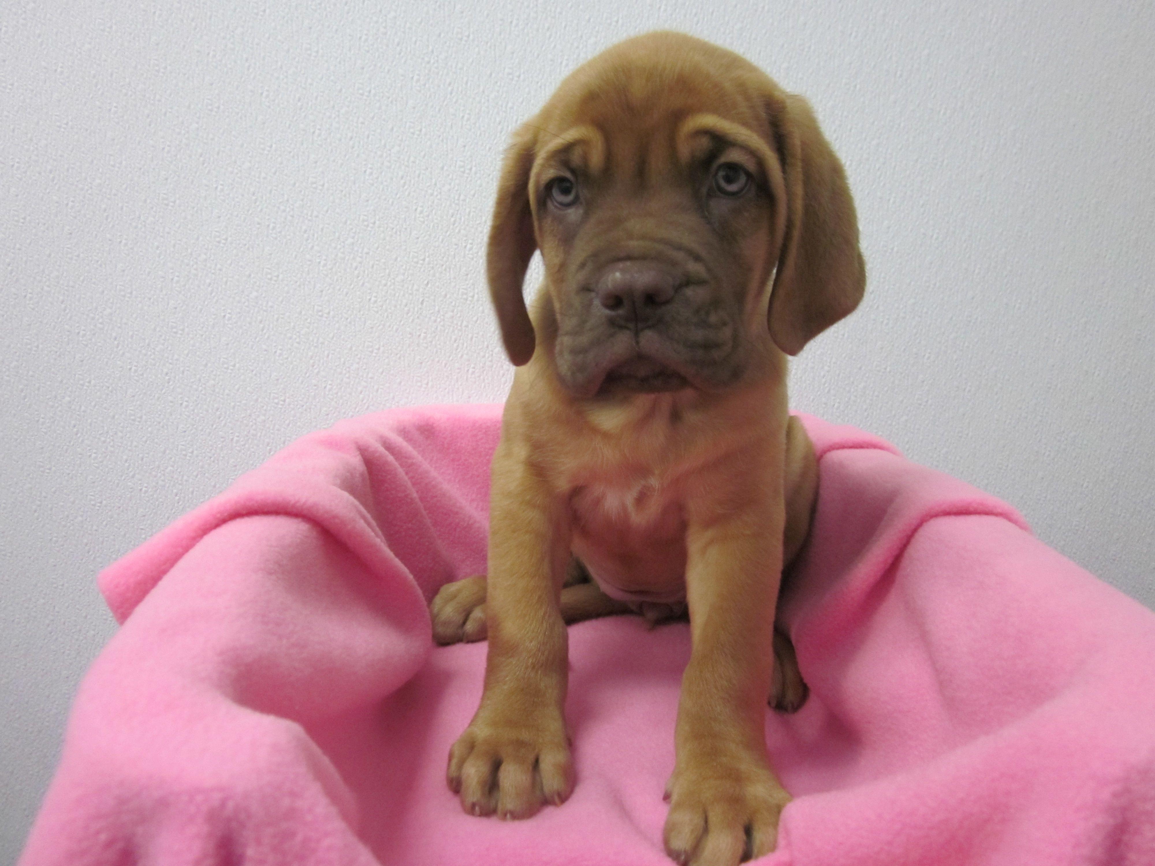 Bullmastiff Mix Puppies For Sale Near Me Ideas