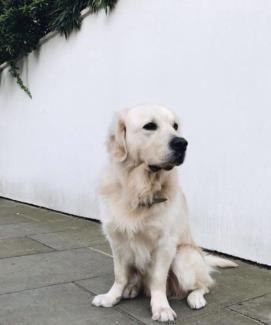 Golden Retriever Hundin 6 Monate