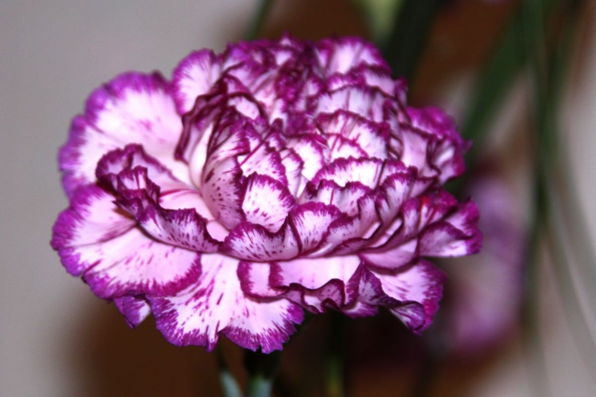 Carnation Flower Meaning And Symbolism Flower Meanings Pictures Types Of Purple Flowers Carnation Flower Meaning Purple Flowers