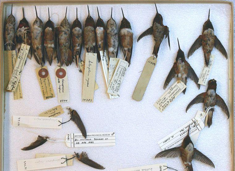 hummingbird wings skeleton Google Search Royal british
