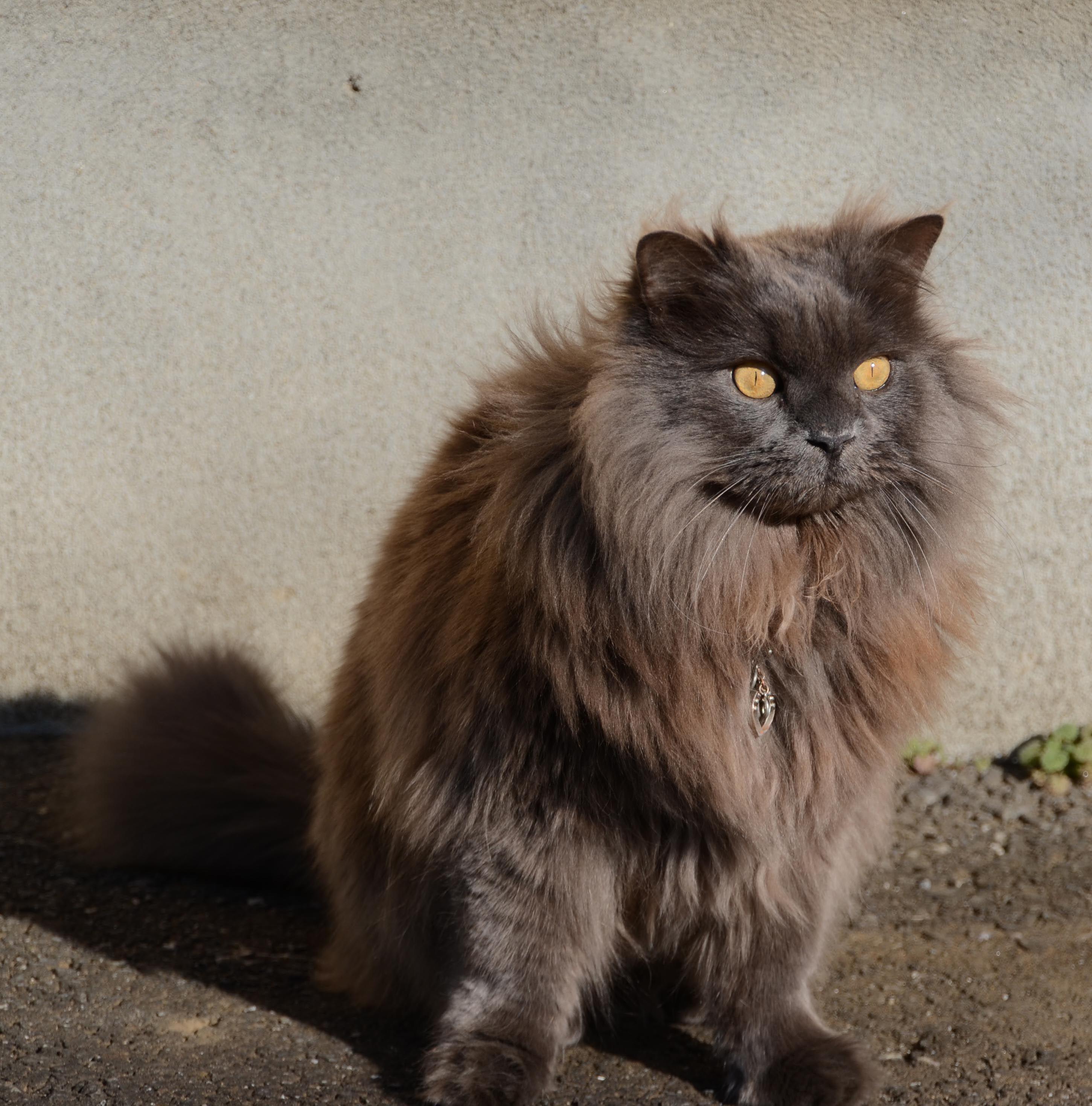 Pin On Chantilly Tiffany Cats