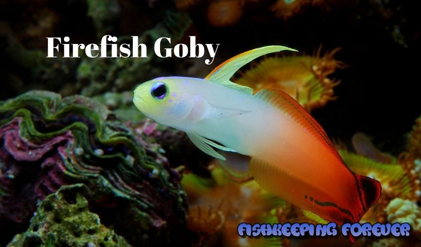 firefish goby ultimate care guide saltwater fish marine fish
