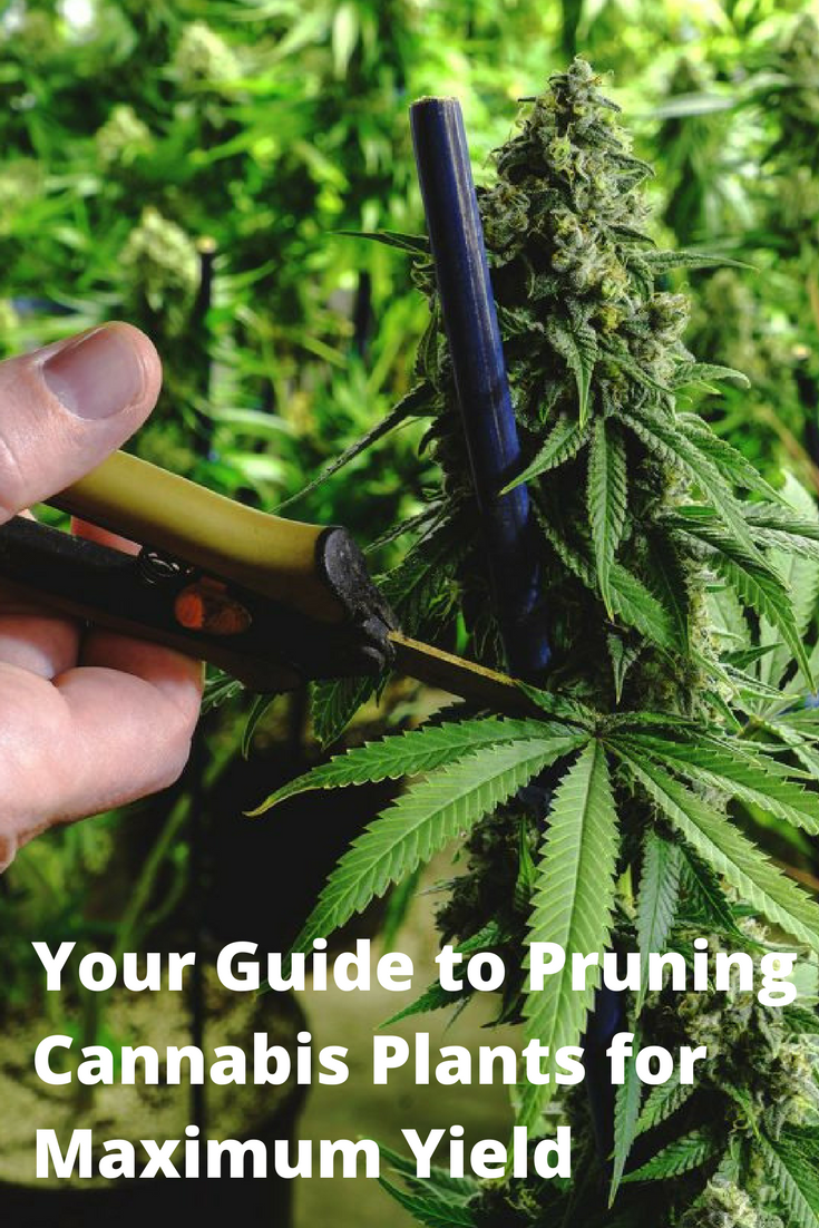 Your Guide to Pruning Cannabis Plants for Maximum Yield | Psg, Pouce ...