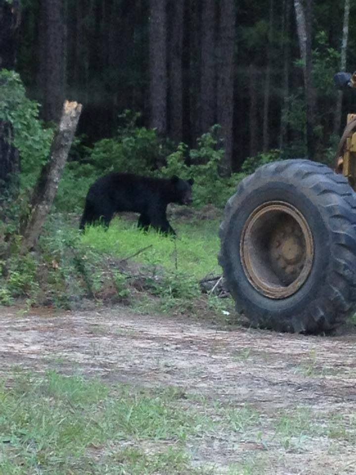 Bears are a rare sighting in rural south but this