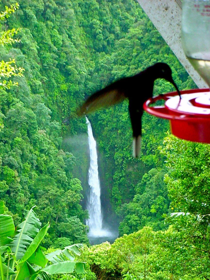 Costa Rica hummingbird Costa rica, Arenal volcano
