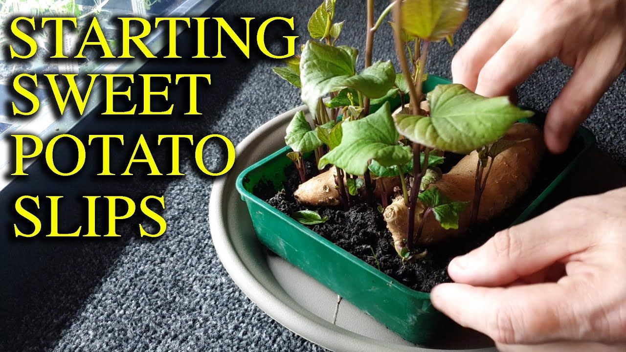 How to grow sweet potato slips productively in 2020