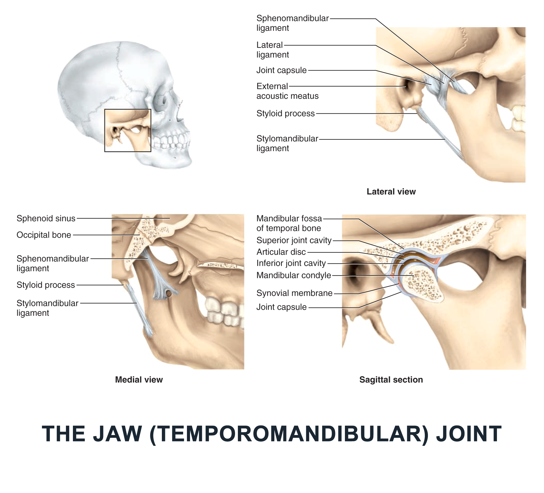 The Jaw (Temporomandibular) Joint - #anatomy images illustrations ...