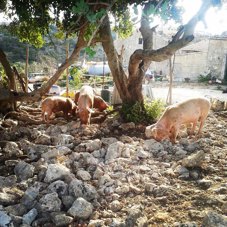 pigs eating!! Noto Antica - Sicily