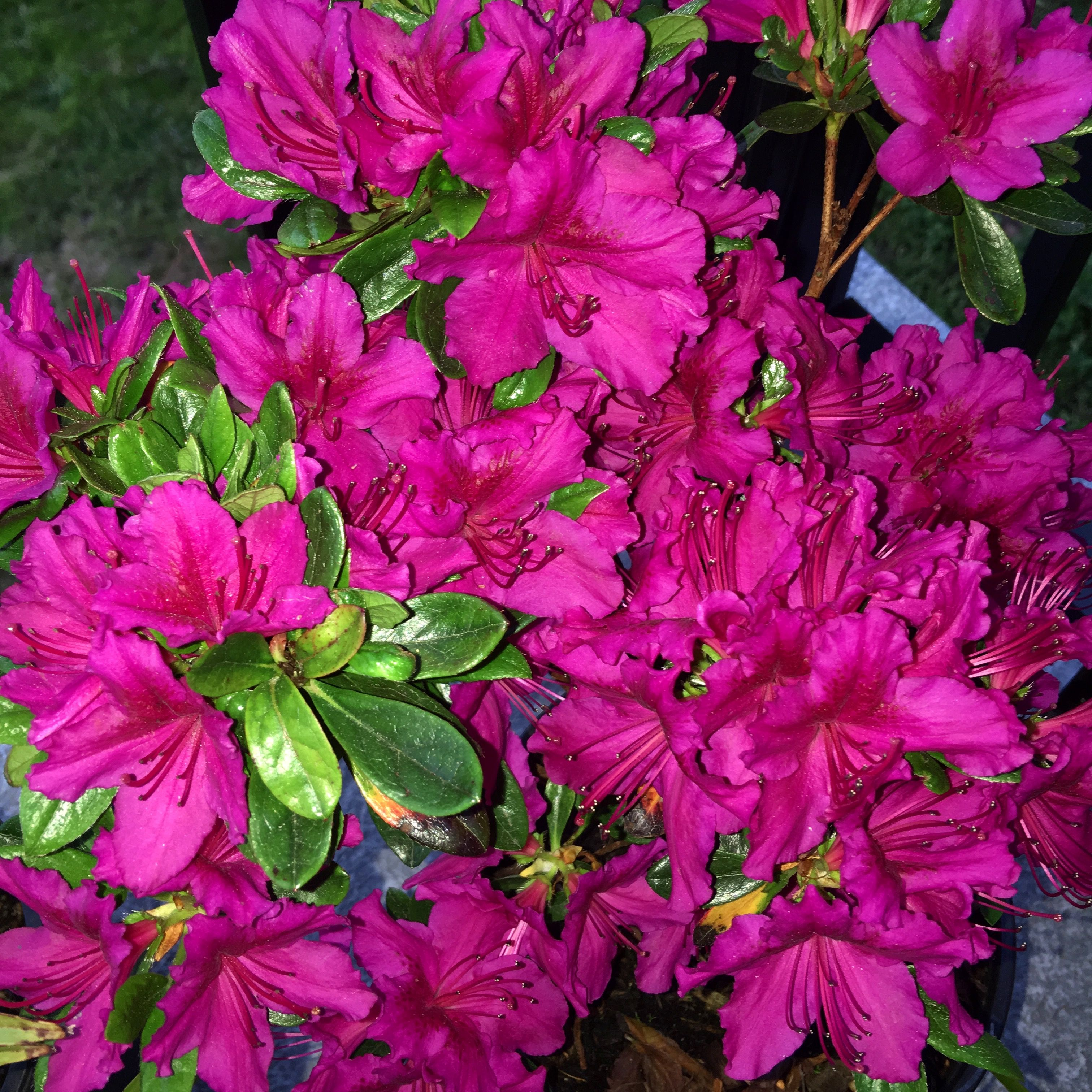 Rhododendron Girard S Fuchsia Rhododendron Plants Flowers